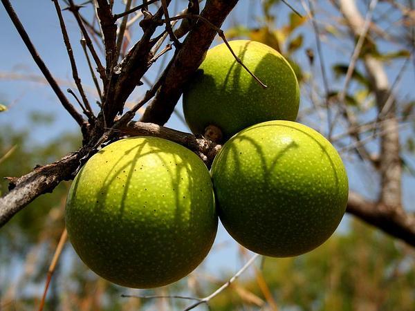 Natal Orange (Strychnos Spinosa) https://www.sagebud.com/natal-orange-strychnos-spinosa