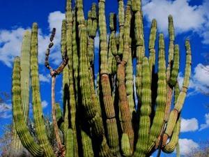 Organpipe Cactus
