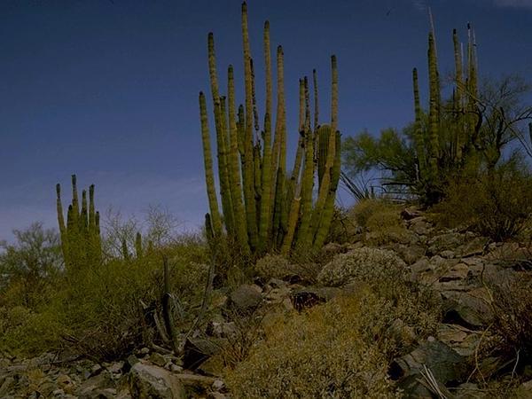 Organpipe Cactus (Stenocereus Thurberi) https://www.sagebud.com/organpipe-cactus-stenocereus-thurberi