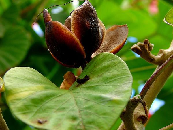 Spottedheart (Stictocardia Tiliifolia) https://www.sagebud.com/spottedheart-stictocardia-tiliifolia
