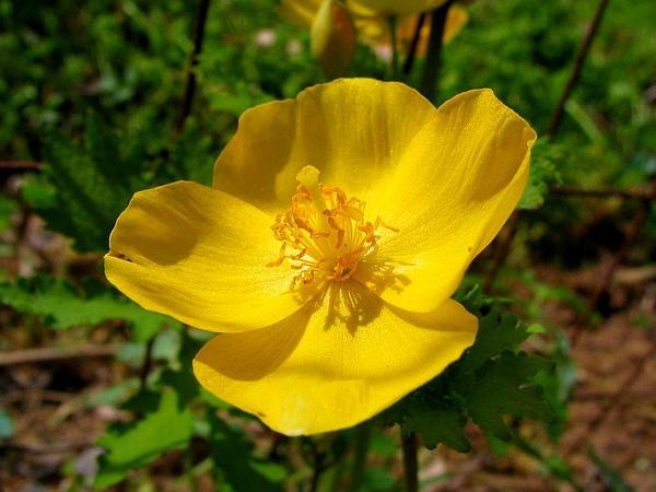 Stylophorum (Stylophorum) https://www.sagebud.com/stylophorum-stylophorum
