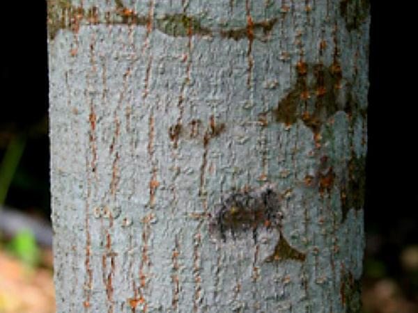 Honduras Mahogany (Swietenia Macrophylla) https://www.sagebud.com/honduras-mahogany-swietenia-macrophylla