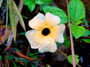 Blackeyed Susan Vine