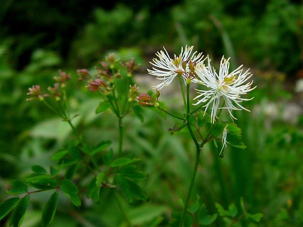 Columbine Meadow-Rue (Thalictrum Aquilegifolium) https://www.sagebud.com/columbine-meadow-rue-thalictrum-aquilegifolium