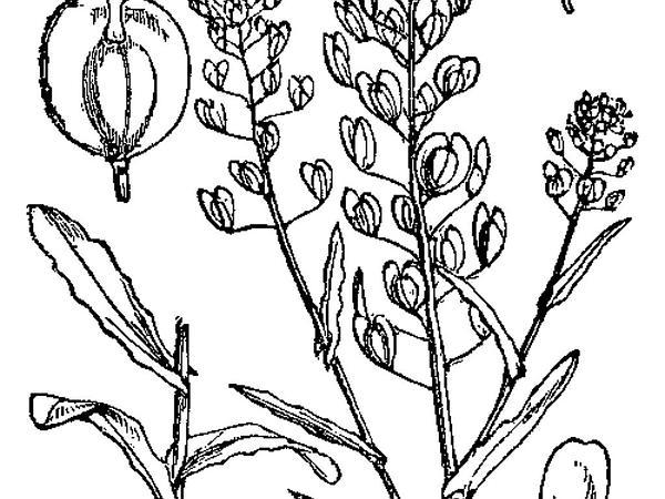 Field Pennycress (Thlaspi Arvense) https://www.sagebud.com/field-pennycress-thlaspi-arvense
