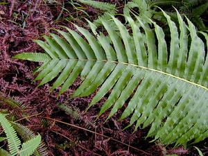 Lacy Maiden Fern