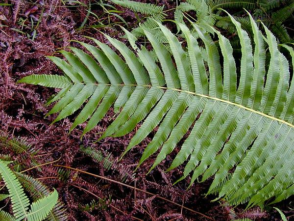 Lacy Maiden Fern (Thelypteris Cyatheoides) https://www.sagebud.com/lacy-maiden-fern-thelypteris-cyatheoides