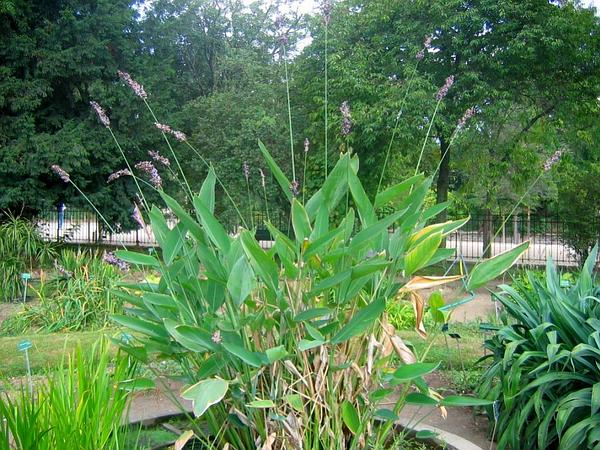 Powdery Alligator-Flag (Thalia Dealbata) https://www.sagebud.com/powdery-alligator-flag-thalia-dealbata/