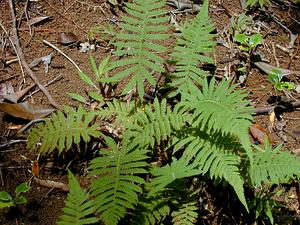 Downy Maiden Fern