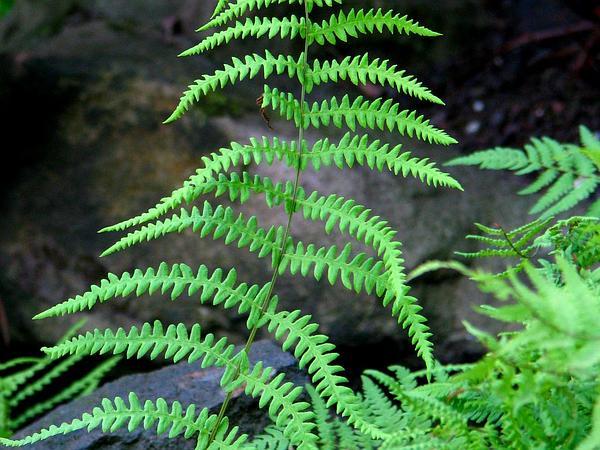 Maiden Fern (Thelypteris) https://www.sagebud.com/maiden-fern-thelypteris