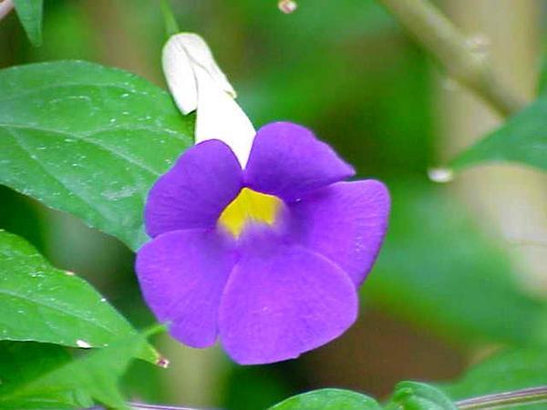 Bush Clockvine (Thunbergia Erecta) https://www.sagebud.com/bush-clockvine-thunbergia-erecta