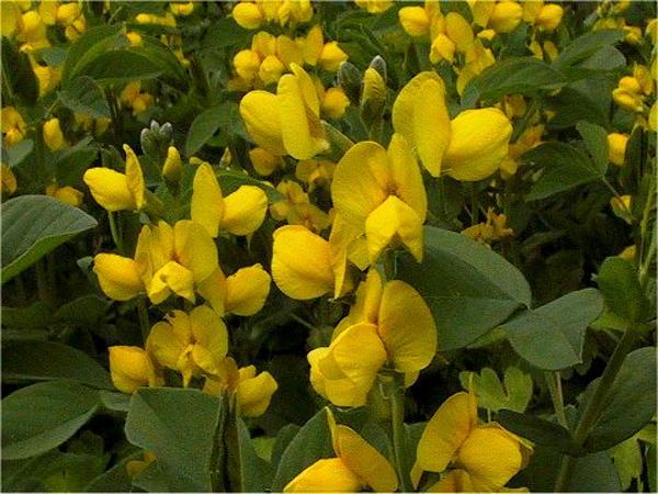 Goldenbanner (Thermopsis) https://www.sagebud.com/goldenbanner-thermopsis