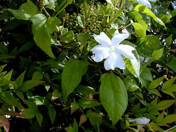 Whitelady (Thunbergia Fragrans) https://www.sagebud.com/whitelady-thunbergia-fragrans