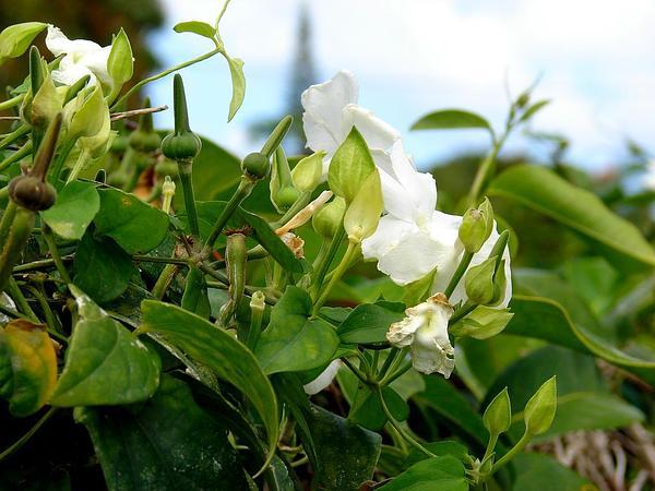 Whitelady (Thunbergia Fragrans) https://www.sagebud.com/whitelady-thunbergia-fragrans/