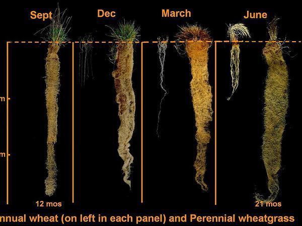 Intermediate Wheatgrass (Thinopyrum Intermedium) https://www.sagebud.com/intermediate-wheatgrass-thinopyrum-intermedium