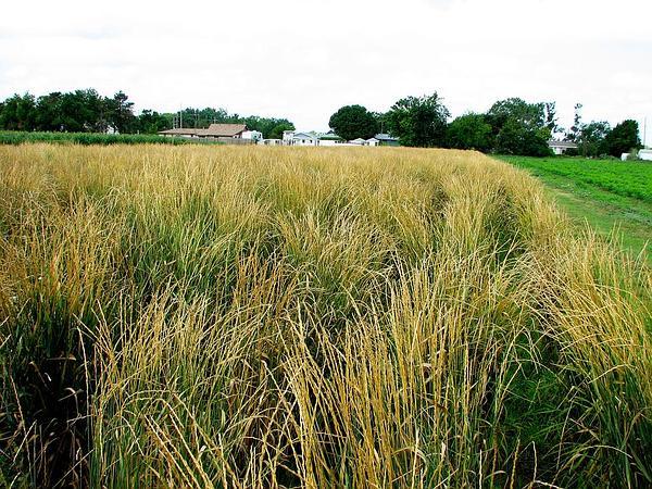 Wheatgrass (Thinopyrum) https://www.sagebud.com/wheatgrass-thinopyrum