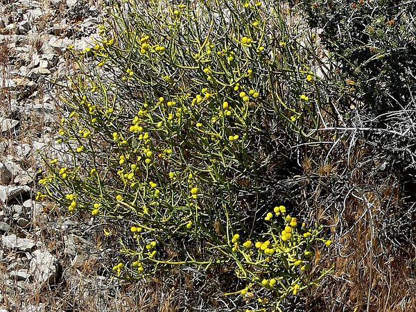Turpentinebroom (Thamnosma Montana) https://www.sagebud.com/turpentinebroom-thamnosma-montana