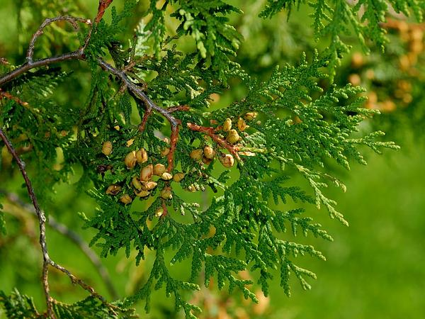 Arborvitae (Thuja Occidentalis) https://www.sagebud.com/arborvitae-thuja-occidentalis/