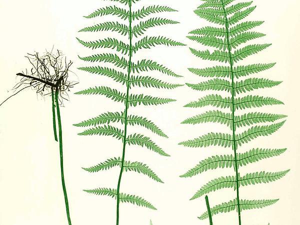 Eastern Marsh Fern (Thelypteris Palustris) https://www.sagebud.com/eastern-marsh-fern-thelypteris-palustris/
