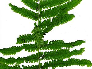 Parasitic Maiden Fern