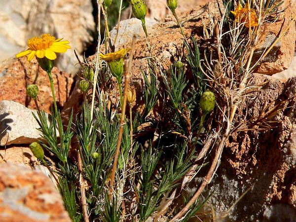 Fiveneedle Pricklyleaf (Thymophylla Pentachaeta) https://www.sagebud.com/fiveneedle-pricklyleaf-thymophylla-pentachaeta