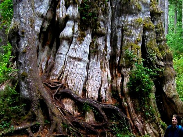 Western Redcedar (Thuja Plicata) https://www.sagebud.com/western-redcedar-thuja-plicata