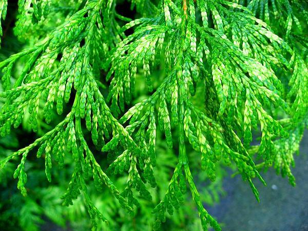 Western Redcedar (Thuja Plicata) https://www.sagebud.com/western-redcedar-thuja-plicata/