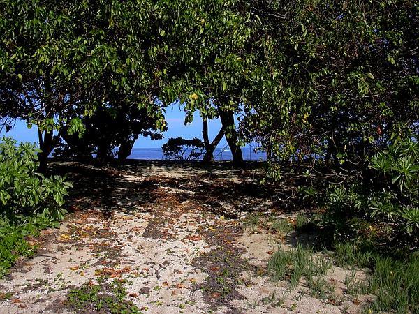 Portia Tree (Thespesia Populnea) https://www.sagebud.com/portia-tree-thespesia-populnea