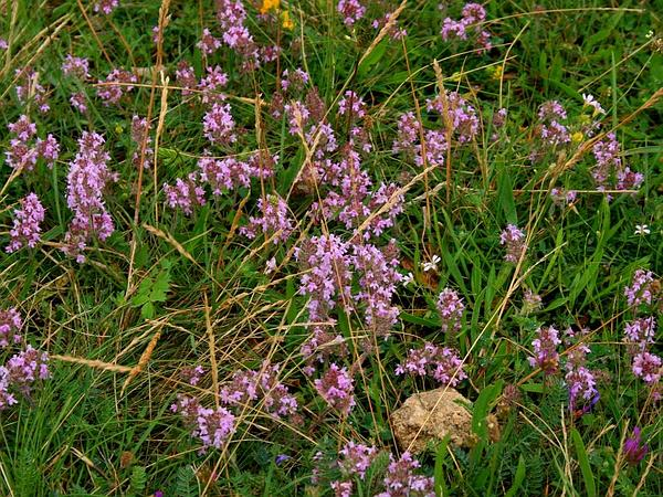Mother Of Thyme (Thymus Praecox) https://www.sagebud.com/mother-of-thyme-thymus-praecox/