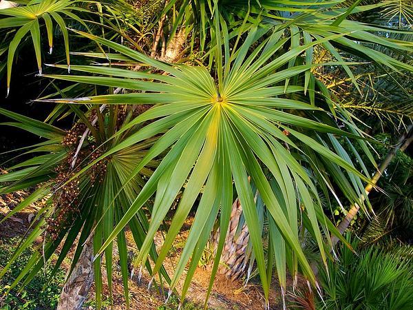 Thatch Palm (Thrinax) https://www.sagebud.com/thatch-palm-thrinax