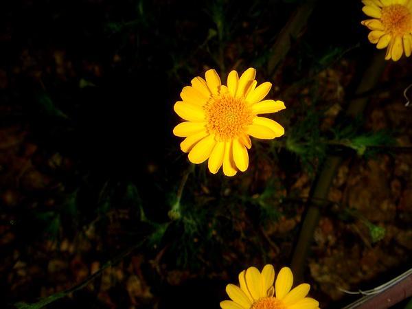 Bristleleaf Pricklyleaf (Thymophylla Tenuiloba) https://www.sagebud.com/bristleleaf-pricklyleaf-thymophylla-tenuiloba