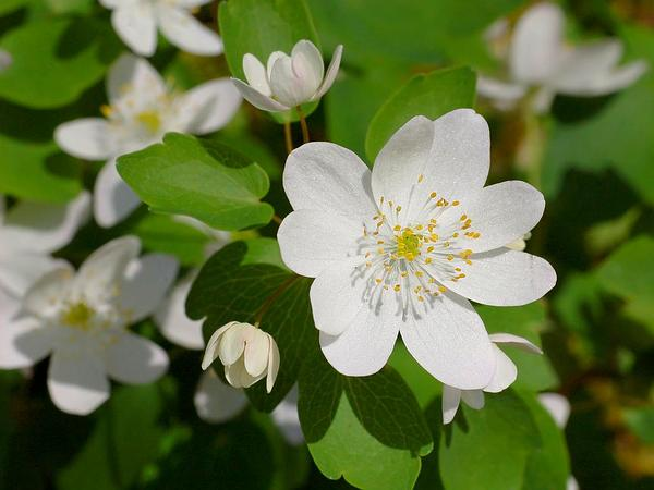Rue Anemone (Thalictrum Thalictroides) https://www.sagebud.com/rue-anemone-thalictrum-thalictroides/