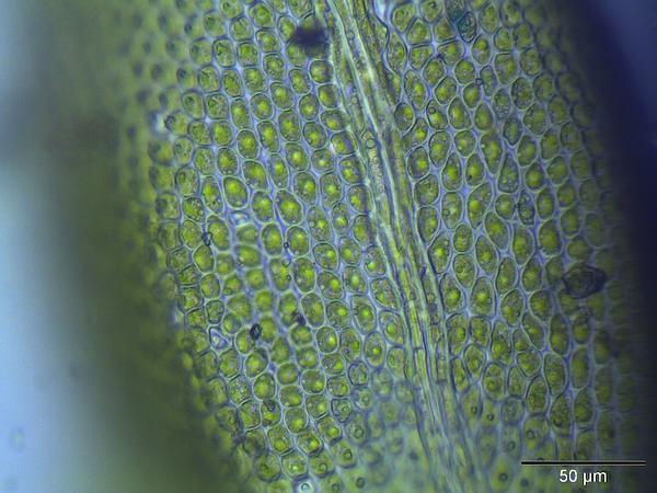 Thuidium Moss (Thuidium) https://www.sagebud.com/thuidium-moss-thuidium