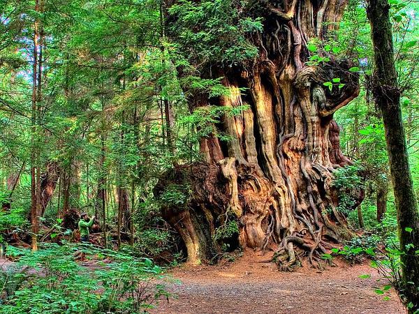 Arborvitae (Thuja) https://www.sagebud.com/arborvitae-thuja
