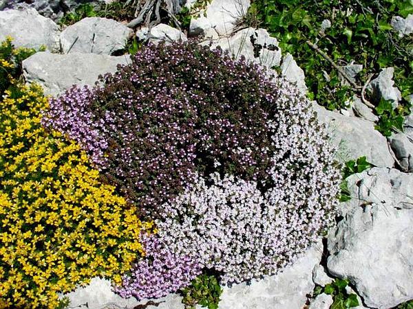 Garden Thyme (Thymus Vulgaris) https://www.sagebud.com/garden-thyme-thymus-vulgaris
