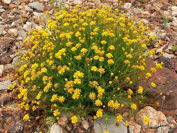 Pricklyleaf (Thymophylla) https://www.sagebud.com/pricklyleaf-thymophylla