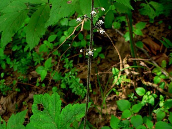 Foamflower (Tiarella) https://www.sagebud.com/foamflower-tiarella