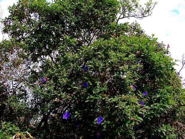 Glorytree (Tibouchina) https://www.sagebud.com/glorytree-tibouchina