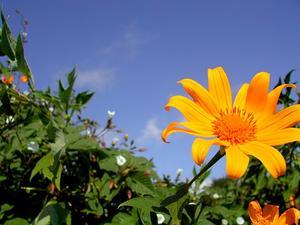 Tree Marigold