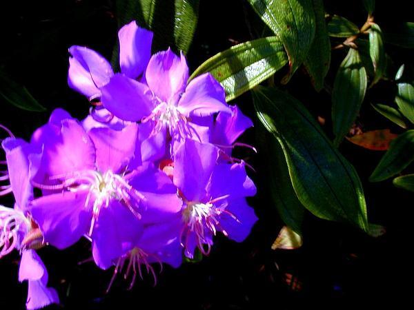 Brazilian Glorytree (Tibouchina Granulosa) https://www.sagebud.com/brazilian-glorytree-tibouchina-granulosa