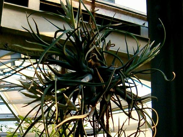 Potbelly Airplant (Tillandsia Paucifolia) https://www.sagebud.com/potbelly-airplant-tillandsia-paucifolia