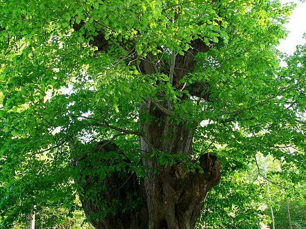 Largeleaf Linden (Tilia Platyphyllos) https://www.sagebud.com/largeleaf-linden-tilia-platyphyllos