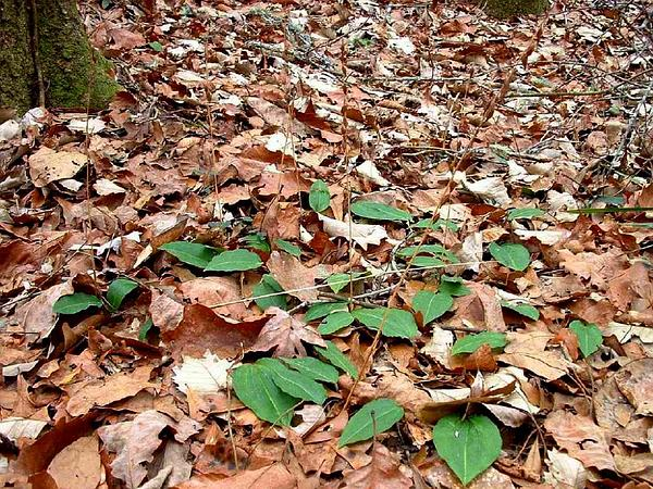 Tipularia (Tipularia) https://www.sagebud.com/tipularia-tipularia/