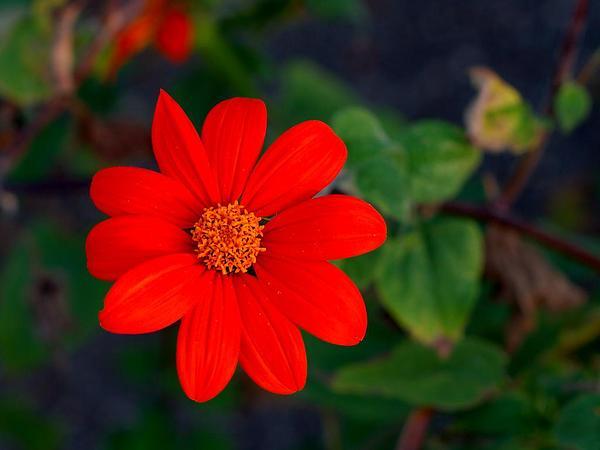 Clavel De Muerto (Tithonia Rotundifolia) https://www.sagebud.com/clavel-de-muerto-tithonia-rotundifolia