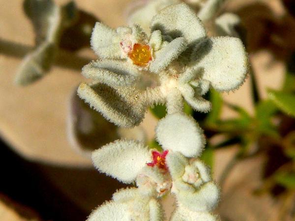 Shrubby Honeysweet (Tidestromia Suffruticosa) https://www.sagebud.com/shrubby-honeysweet-tidestromia-suffruticosa/