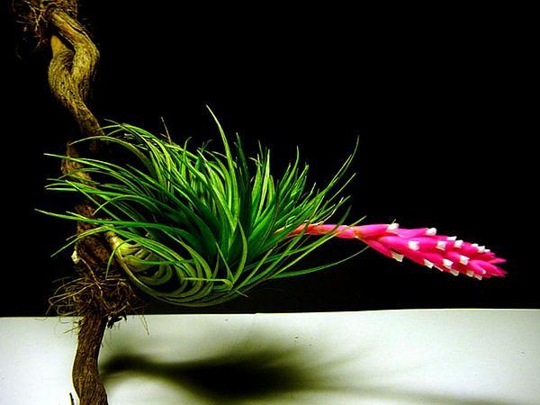 Narrowleaf Airplant (Tillandsia Tenuifolia) https://www.sagebud.com/narrowleaf-airplant-tillandsia-tenuifolia
