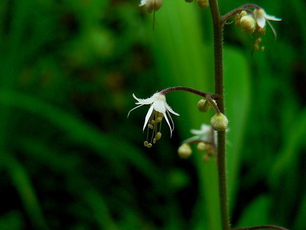 Threeleaf Foamflower (Tiarella Trifoliata) https://www.sagebud.com/threeleaf-foamflower-tiarella-trifoliata/
