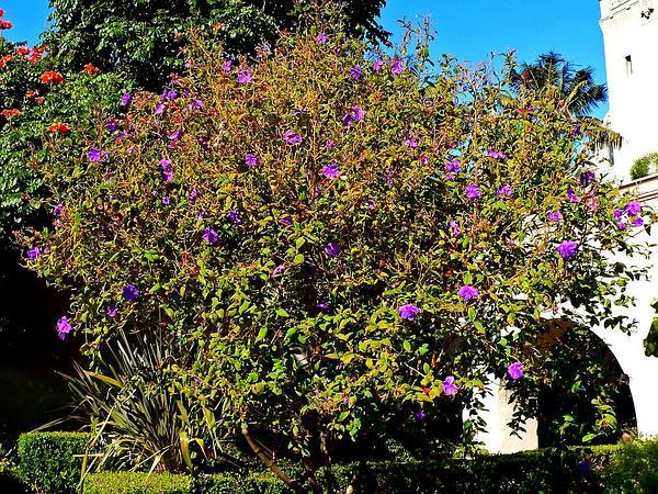 Princess-Flower (Tibouchina Urvilleana) https://www.sagebud.com/princess-flower-tibouchina-urvilleana
