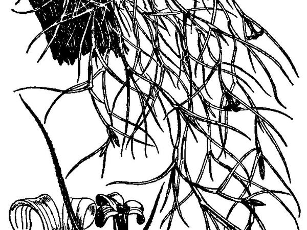 Spanish Moss Tree Coloring Pages