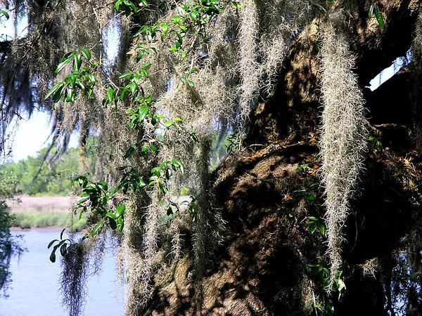 Spanish Moss (Tillandsia Usneoides) https://www.sagebud.com/spanish-moss-tillandsia-usneoides/